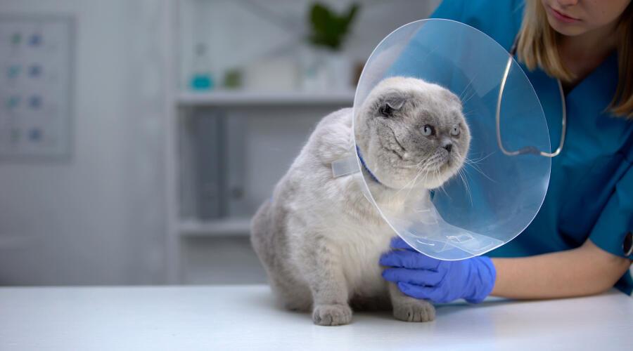 Стоит ли кастрировать или стерилизовать любимого кота?