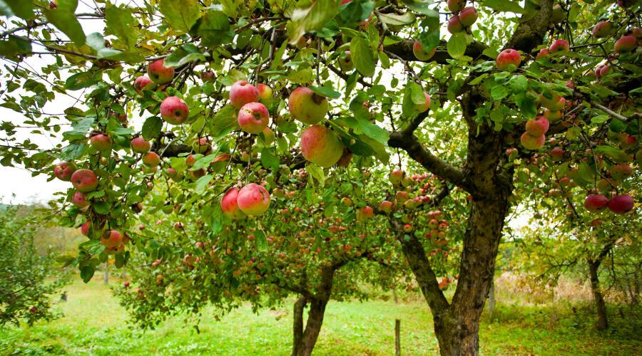 Как сформировать крону молодой яблони?