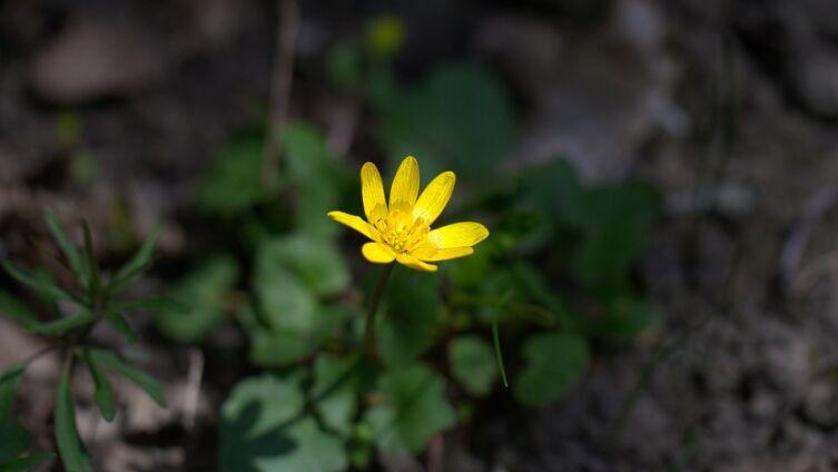 Что за цветочек лютик?
