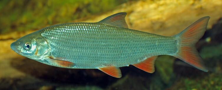 Подуст обыкновенный (Chondrostoma nasus)