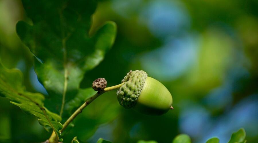 Как вырастить дуб на приусадебном участке?
