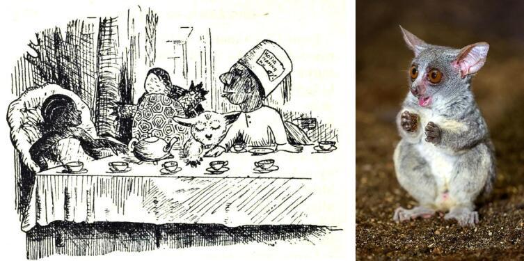 Слева — иллюстрация неизвестного художника из издания «Elisi katika nchi ya ajabu» (1967). Справа — фото галаго (Petr Hamerník, ru.wikipedia.org)