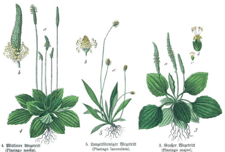 Ботаническая иллюстрация из книги Г. Х. Шуберта «Naturgeschichte des Pflanzenreichs»