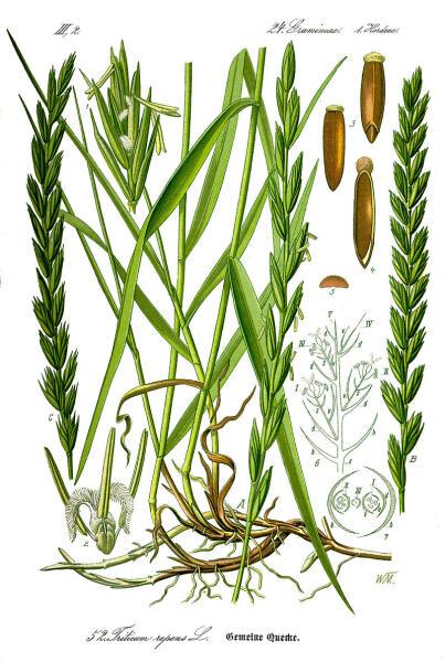 Ботаническая иллюстрация из книги О. В. Томе Flora von Deutschland, Österreich und der Schweiz, 1885 г.