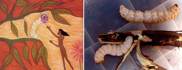 Слева — личинка на иллюстрации Donna Leslie из издания «Alitji in Dreamland» (1992). Справа — фото настоящие Witchetty Grubs (Sputnikcccp, ru.wikipedia.org)