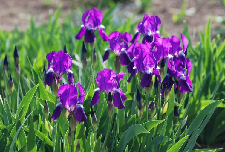 Ирисы: что особенного в этих садовых цветах?