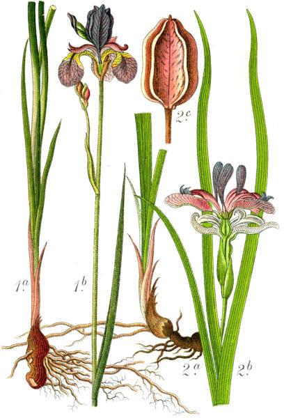 Ботаническая иллюстрация Якоба Штурма из книги Deutschlands Flora in Abbildungen, 1796 1. Iris sibirica 2. Iris graminea