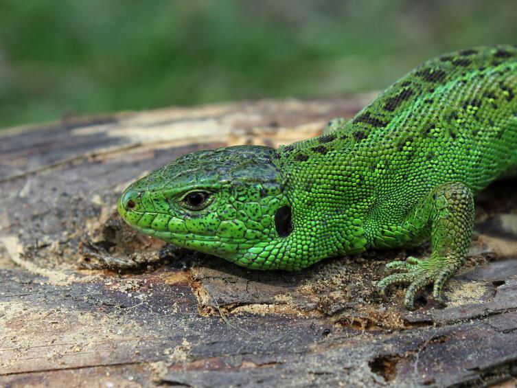 Прыткая ящерица, самец (Lacerta agilis)