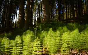 Что за растение хвощ и как оно используется?