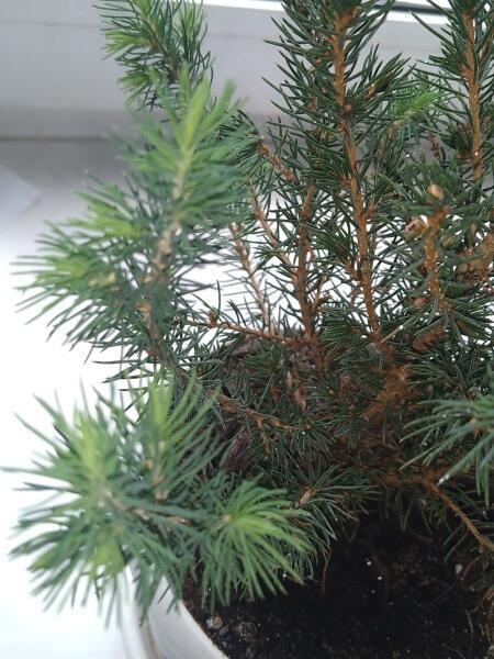 Как вырастить елку?