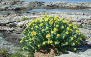 Что за растение золотой корень?