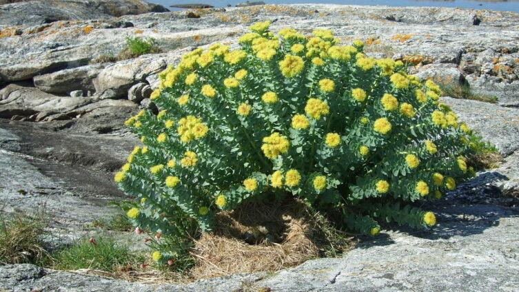 Общий вид цветущего растения родиола розовая (золотой ко́рень). Норвегия