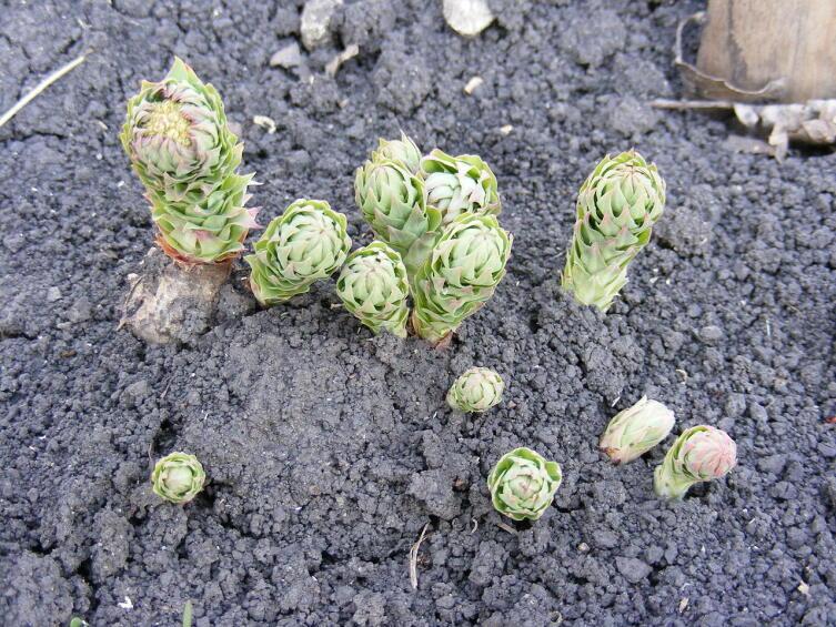 Молодые ростки родиолы ранней весной