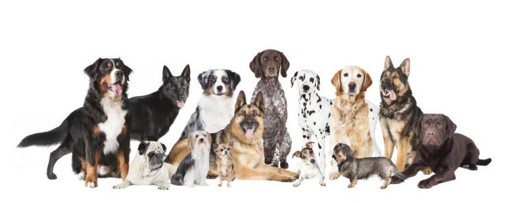 О чём поют собаки?