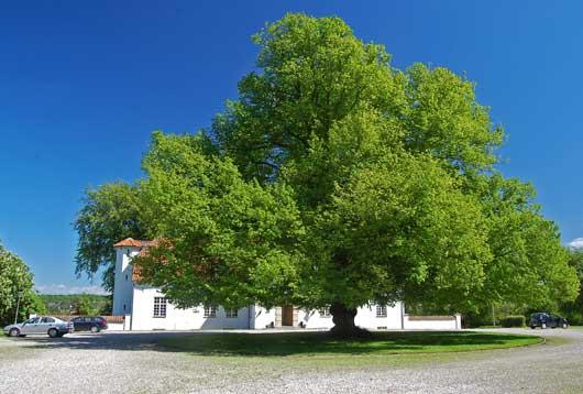 Общий вид взрослого дерева, образованного семью сросшимися растениями, Зеландия, Дания