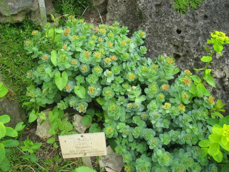 Родиола розовая. Общий вид цветущего растения в Берлинском ботаническом саду