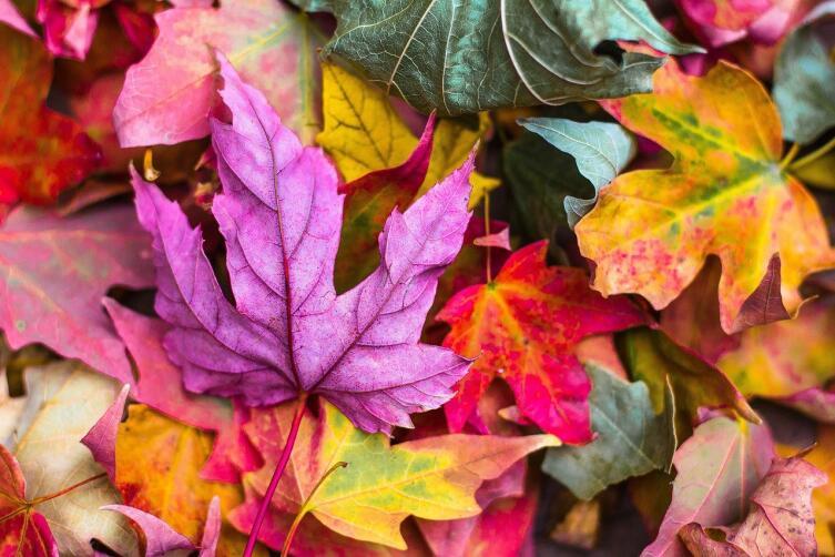 Тайна осеннего разноцветья: почему листья меняют цвет?