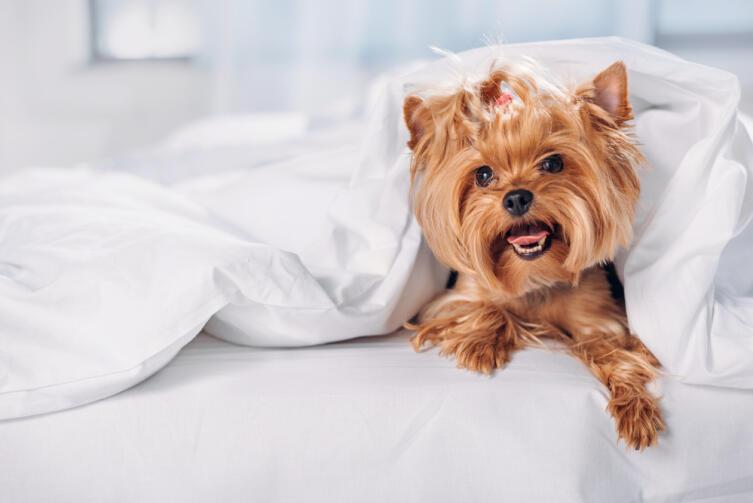 Можно ли разрешать собаке спать в своей постели?