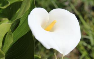 Почему каллу в народе называют цветком смерти?