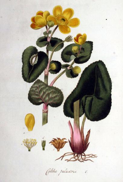 Калужница болотная. Ботаническая иллюстрация из книги Яна Копса Flora Batava