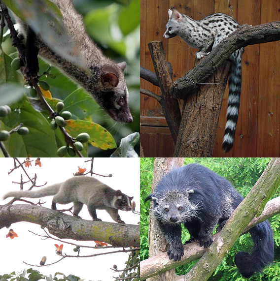 Виверры. Сверху: мусанг, обыкновенная генетта; Снизу: гималайская цивета, бинтуронг