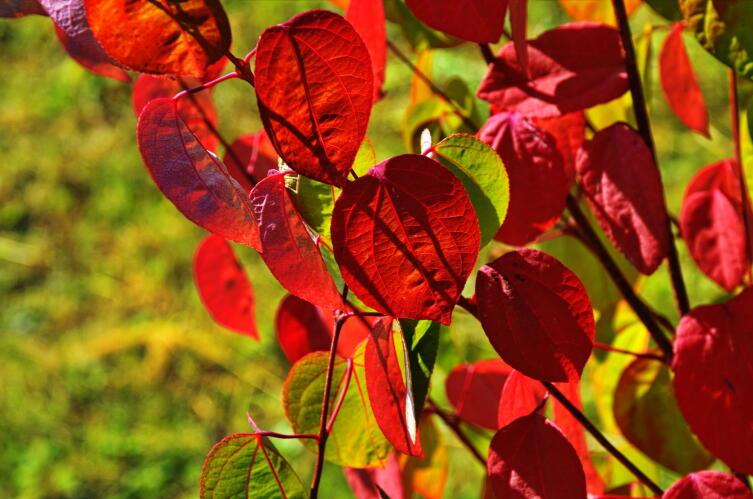 Листья багрянника японского осенью