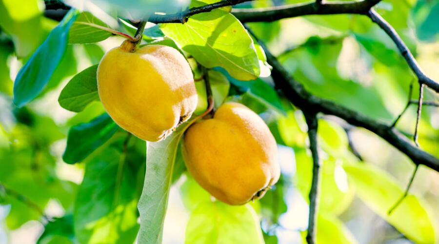 Как выращивать и размножать айву?