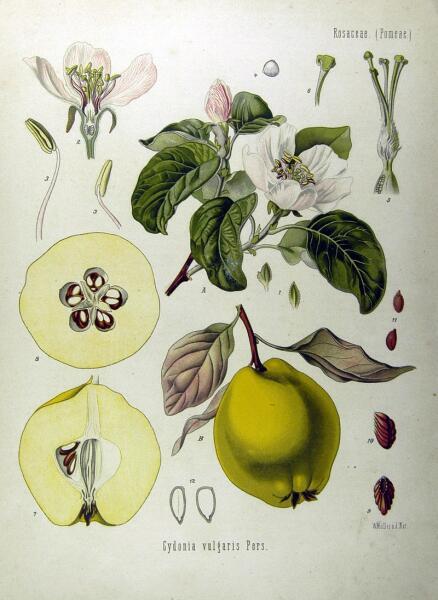 Ботаническая иллюстрация из книги Köhler's Medizinal-Pflanzen, 1887 г.