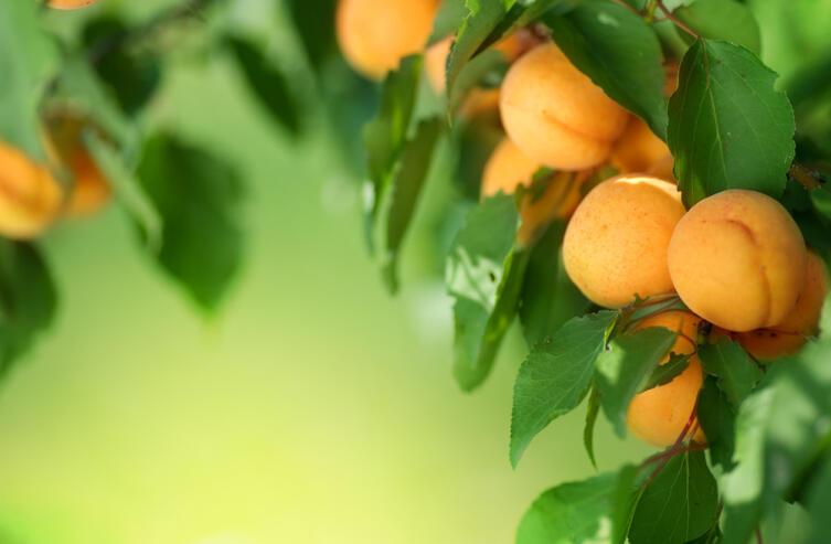 Почему абрикос называют деревом Солнца?