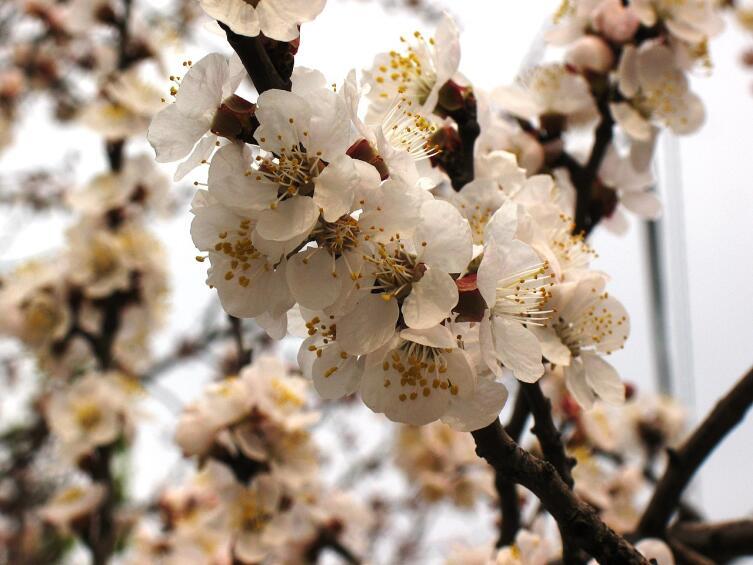 Цветение Абрикоса обыкновенного
