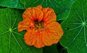 Что за растение настурция?
