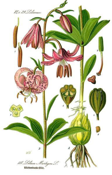 Лилия кудреватая. Ботаническая иллюстрация из книги О. В. Томе Flora von Deutschland, Österreich und der Schweiz, 1885 г.