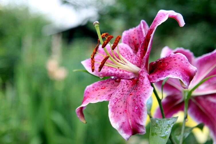Почему исчезает из природы лилия саранка?