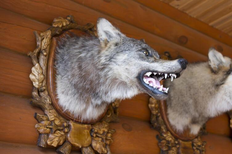 Чучело головы волка