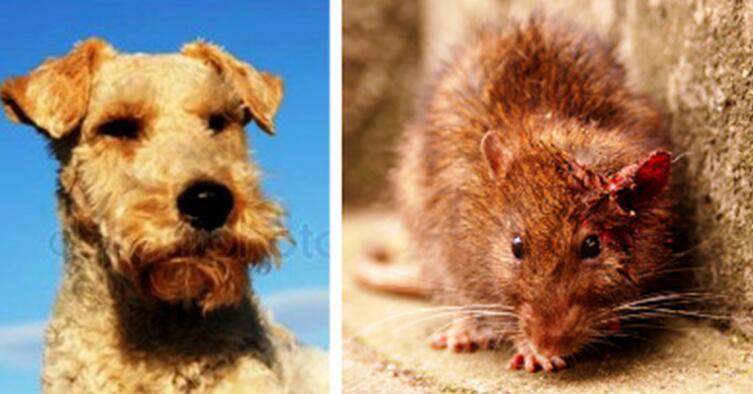 Коллаж автора. Слева фокстерьер Гейша. Справа раненная крысиная королева Машка