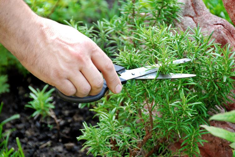 Что за растение розмарин и где оно используется?