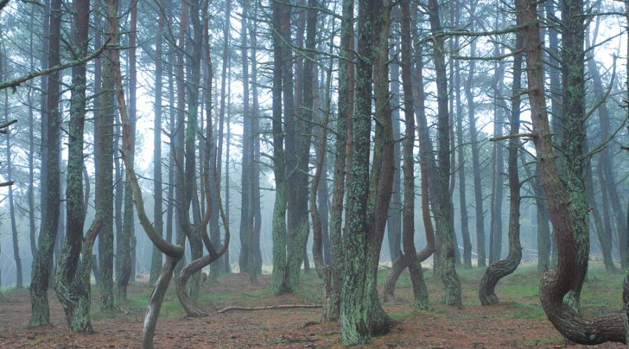 Танцующие деревья в Национальном парке Куршская коса