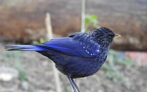Есть ли в реальности таинственная Синяя птица?