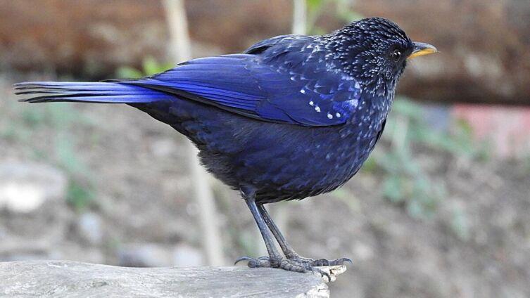 Синий свистящий дрозд