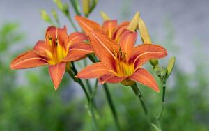 Как выращивать лилейник на дачном участке?