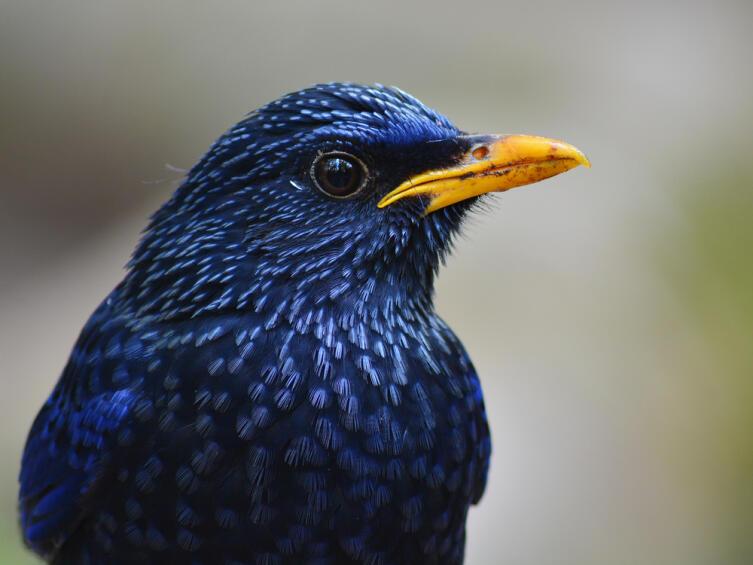 Синий свистящий Дрозд (Myophonus caeruleus)