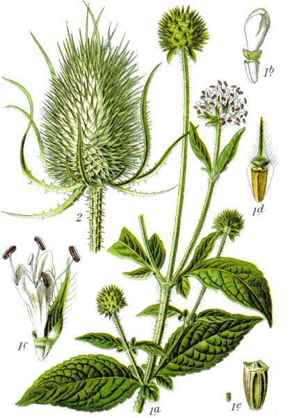 1. Dipsacus pilosus; 2. Dipsacus silvestris. Ботаническая иллюстрация Якоба Штурма из книги Deutschlands Flora in Abbildungen, 1796 г.