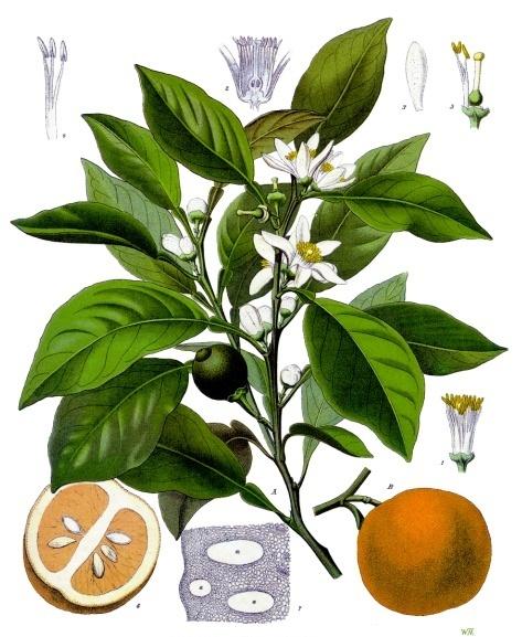 Померанец. Ботаническая иллюстрация из книги Köhler's Medizinal-Pflanzen, 1887 г.