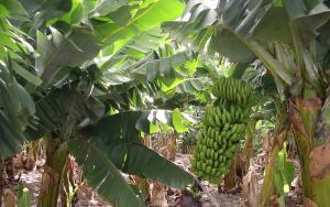 Как выращивали бананы в Советском Заполярье?