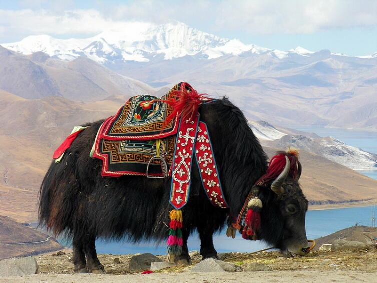 Одним из первых яка описал русский путешественник Николай Михайлович Пржевальский. На фото— як, пасущийся возле озера Ямджо-Юмцо, Китай