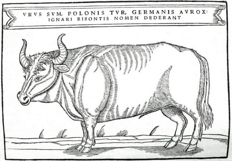 Тур на иллюстрации из книги Сигизмунда фон Герберштейна, опубликованной в 1556 г.