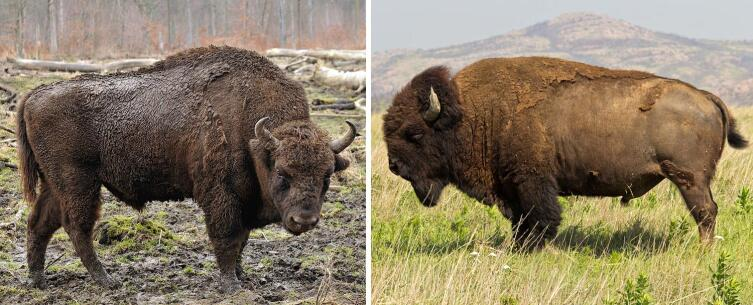 Зубр и бизон