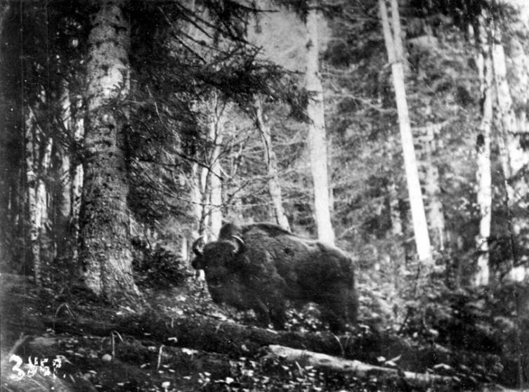 Прижизненная фотография кавказского зубра в конце XIX века