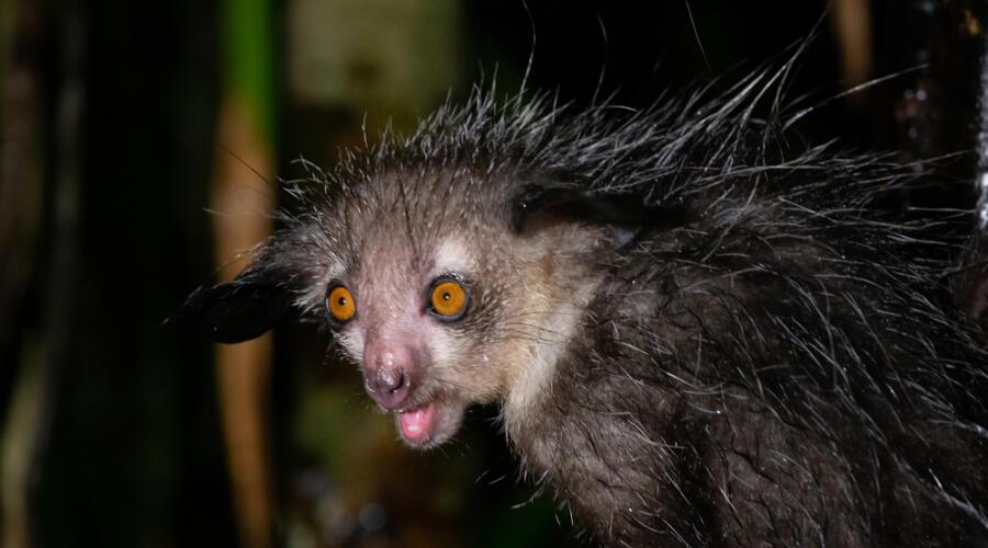 Мадагаскарская руконожка
