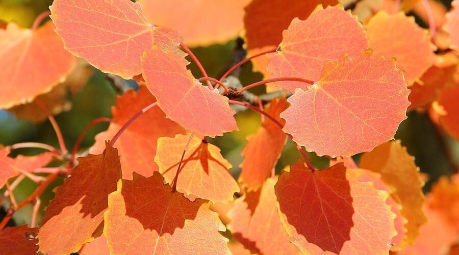 Листва осины. Осень